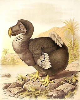 Dodo Raphus cucullatus paloma extinta de la isla Mauricio birds in the island Mauricio in extinction