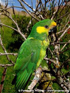 loro amarillo aves en extincion de america Ognorhynchus icterotis