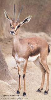 Cuvier ´s gazelle