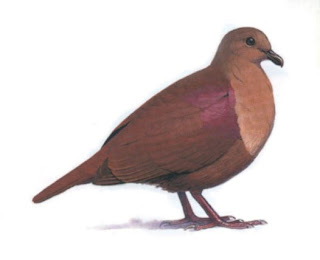 thick billed ground dove