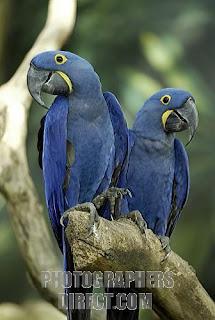 guacamayo azul Anodorhynchus hyacinthinus aves de america en extincion