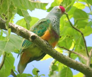 Mariana fruit dove