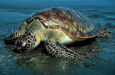 tortuga verde Chelonia mydas