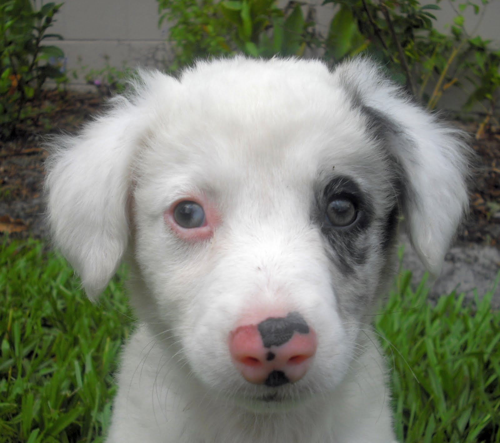 White Dog Breed With Spots Around Eyes