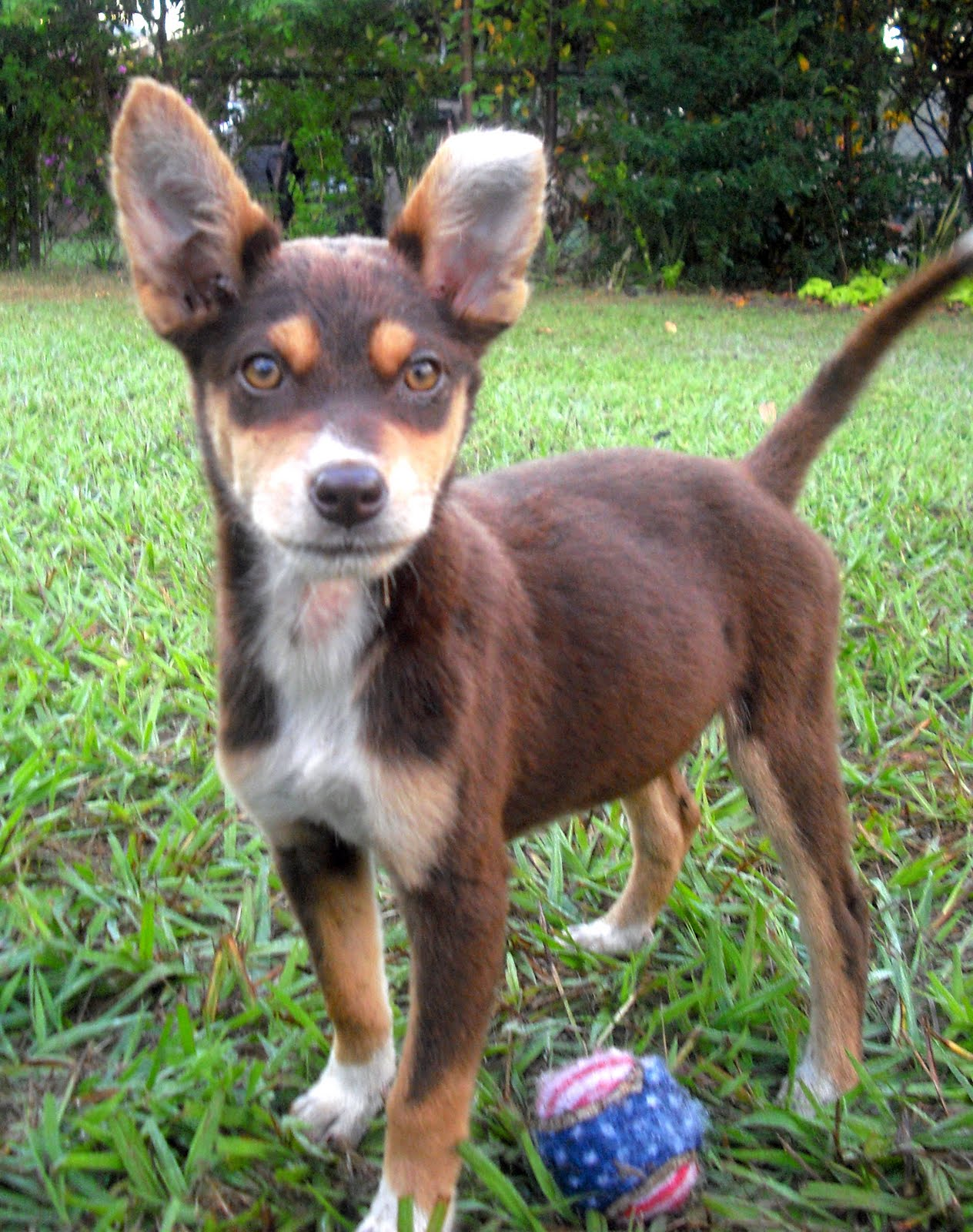 Cricket the Athletic Kelpie Puppy ~ Adopted   The Dog