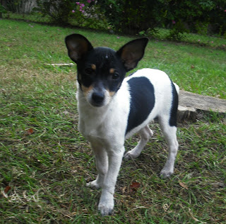 Kipper The Rat Terrier Puppy Adopted The Dog Liberator