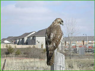 The view from my window then: red-tailed hawk