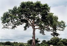 Ceiba pertandra