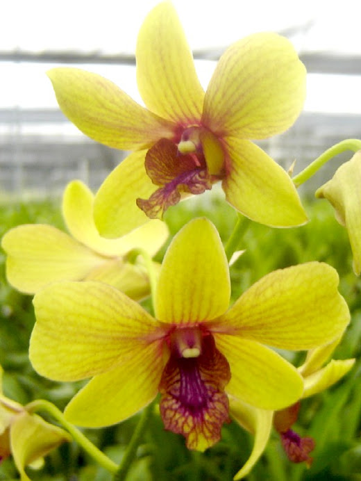 Dendrobium Thongchai Gold