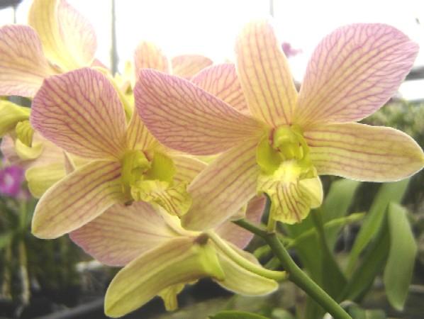Dendrobium Salaya Candy