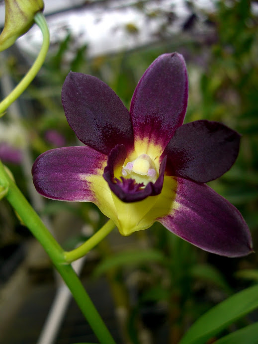 Dendrobium Burana Sunshine