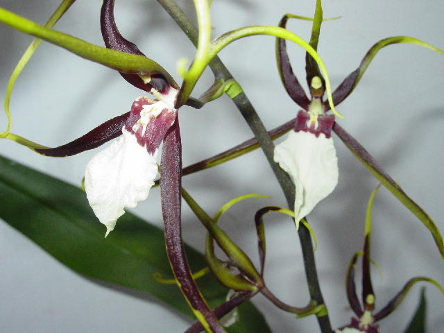 Odbrs. Kenneth Biven 'Santa Barbara'