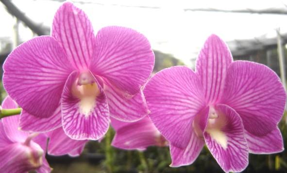 Dendrobium Salaya Lai