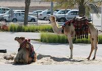 Camellos en los aledaños del circuito