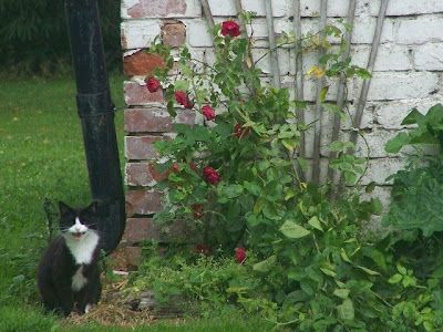 chicken house bloom of roses and Frits the cat