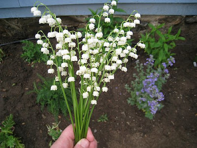 White coral bells rose bredl columbus ohio wedding and event lilly of the valley grace my garden walk so pretty so spring i love this flower too delicate to be sold in shops really but beautiful as is in nature mightylinksfo