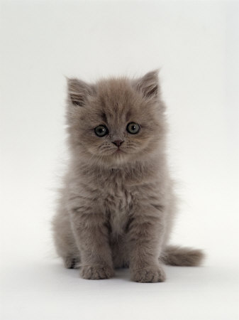 Two long hair female kittens, Images