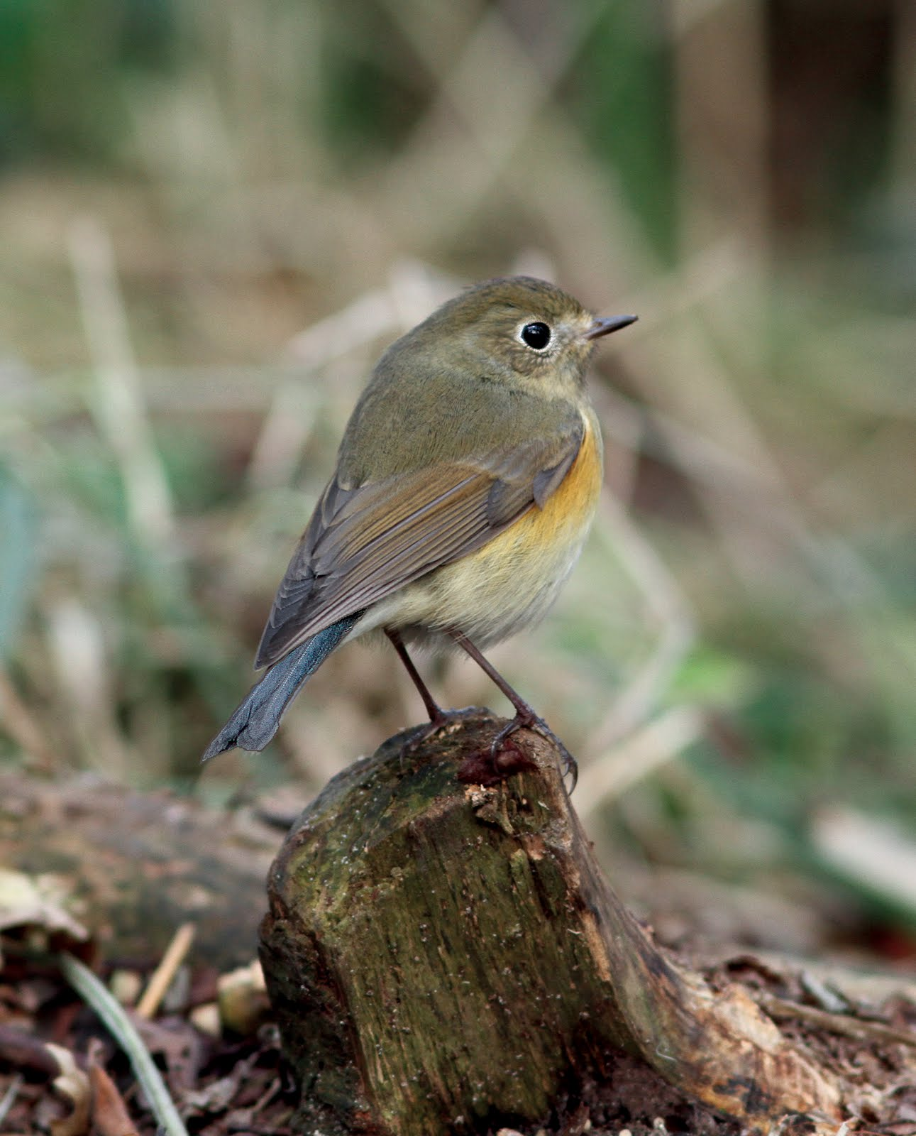 This picture of the waxham bluetail from my post