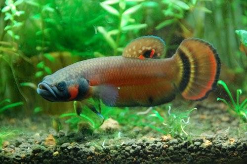 Aquadoc breeding betta macrostoma for Betta fish natural environment