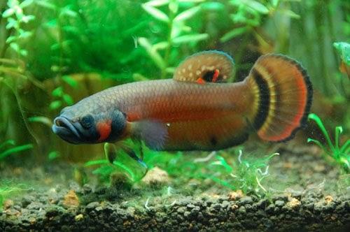 Aquadoc breeding betta macrostoma for Wild betta fish