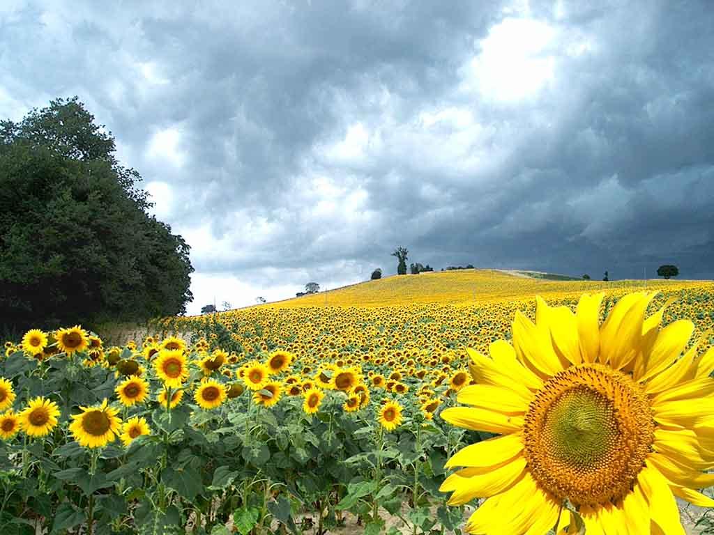 http://1.bp.blogspot.com/_cVX_POUDp7A/TEj7EcJxFeI/AAAAAAAAA-k/34aqUgDZrxM/s1600/sunflowers2_1024.JPG