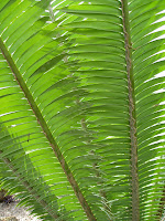 Dioon spp.