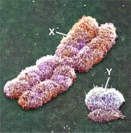 [cromosomas+sexuales.jpg]