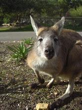 kangourou domestique!