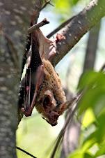 Morcegos não agrida fotografe