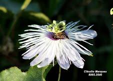 Flor do Maracujá