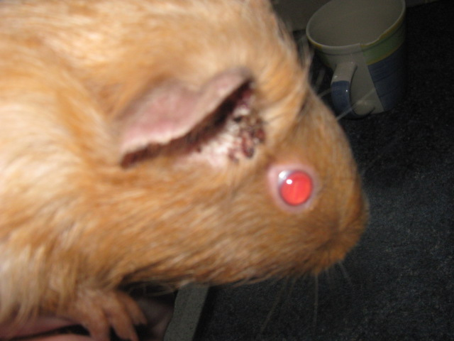 Ear Mites in Guinea Pigs http://ambertheguineapig.blogspot.com/