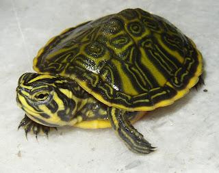 Il mondo degli animali le tartarughe d 39 acqua dolce for Letargo tartarughe acqua