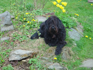 Dandy waiting patiently for a walk in Maenarthur Woods - Coed Maenarthur