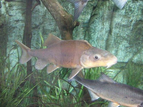 Fish index razorback sucker xyrauchen texanus for Freshwater sucker fish