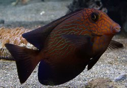 Aquarium Fish Of The Month - Chevron Tang