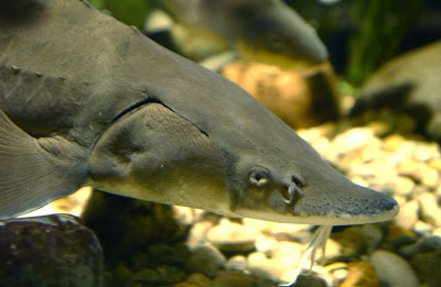 Lake Sturgeon on oscar cichlid with fry