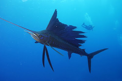Fish index sailfish the fastest fish in the world for What is the fastest swimming fish