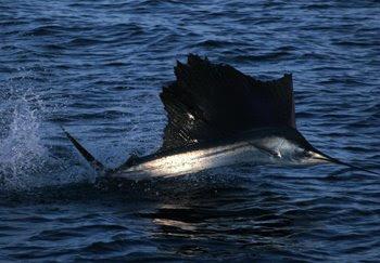 Pez Vela recomendación equipos SHIMANO Sailfish+Jumping