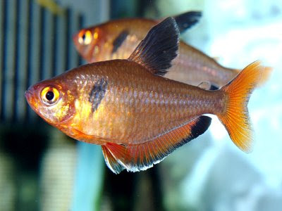 Fish Index: Serpae Tetra