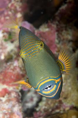 fish index undulate triggerfish balistapus undulatus