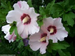 White Rose Of Sharon With Stunning Red Middles!