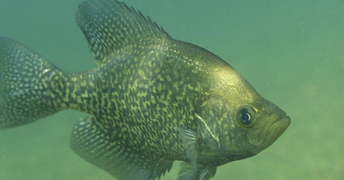 Fish index black crappie pomoxis nigromaculatus for Crappie fish facts