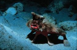 Weird Fish Of The Month - Red Lipped Batfish