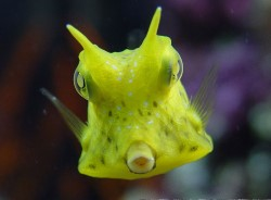 Longhorn Cowfish