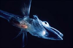 Ice Fish - Special Chemicals Stop The Cold Water From Freezing Their Bodies