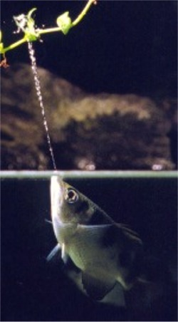 Archer Fish - Knocks insects out of the air by shooting water out of its mouth