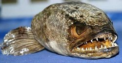 Snakehead Fish - Wanted Dead Or Alive