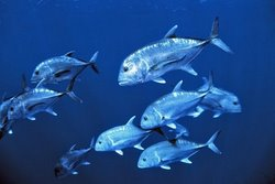 Giant Trevally