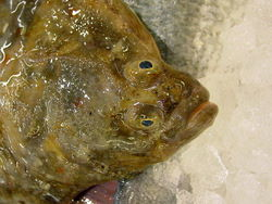 European Flounder... Not Much For Looks, But Really, Really Good!