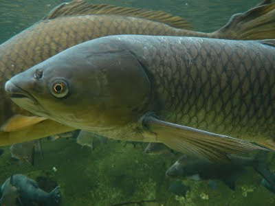 Grass Carp Ctenopharyngodon Idella on oscar cichlid with fry